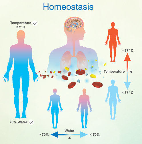 diagram of homeostasis